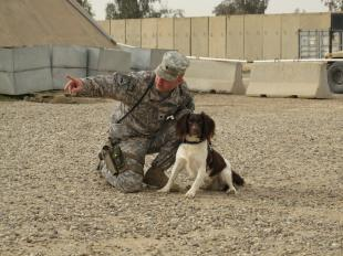 Spc. Jason David instructs his Military Working Dog, Sgt. Bandit, to find five pounds of hidden C4 explosive at Forward Operating Base Bernstein, April 8. Bandit, a Specialized Search Dog, has been through rigorous training and can detect even trace amounts of explosive when David tells him it's time to work., Sgt. Angie Johnston