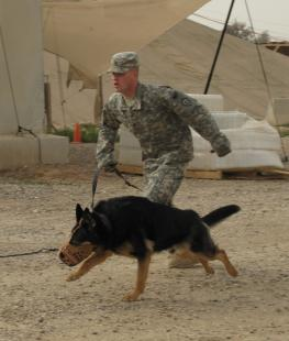 Staff Sgt. Conan Thomas trains his Military Working Dog, Sgt. 1st Class Britt at Forward Operating Base Bernstein, April 8. Britt is chasing after a specially-trained Soldier who Thomas has indicated was a threat. , Sgt. Angie Johnston