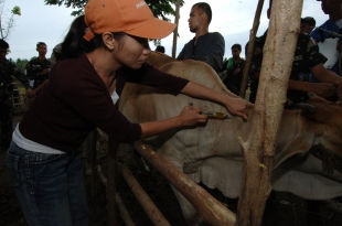 University of Southern Mindanao veterinary student injects a local farmer's cow with basic treatment for parasite infections and vitamin deficiencies. These treatments improve the health of farm animals allowing them to be more productive and have healthier offspring as well as decrease safe havens for terrorists and lawless groups. This VETCAP comprised of Armed Forces of the Philippines, U.S. military, Philippine Department of Agriculture, and barangays (neighborhood) leadership was held in five different barangays in the more remote areas of central Mindanao.